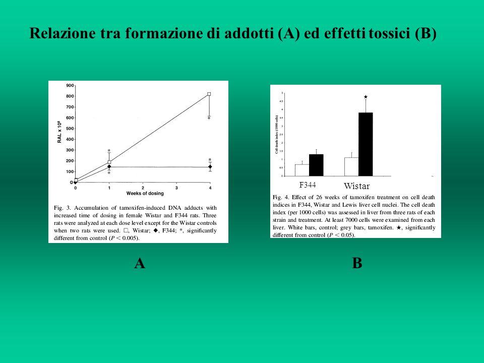 Wistar F344 Relazione tra formazione di addotti (A) ed effetti tossici (B) AB