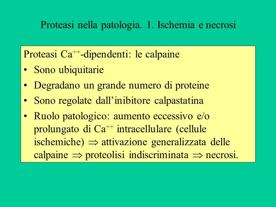 Proteasi nella patologia. 1. Ischemia e necrosi Proteasi Ca ++ -dipendenti: le calpaine Sono ubiquitarie Degradano un grande numero di proteine Sono r