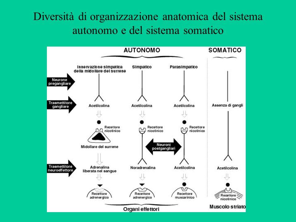 Diversità di organizzazione anatomica del sistema autonomo e del sistema somatico