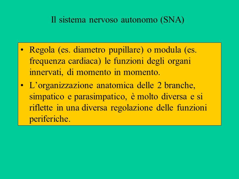 Il sistema nervoso autonomo (SNA) Regola (es. diametro pupillare) o modula (es. frequenza cardiaca) le funzioni degli organi innervati, di momento in