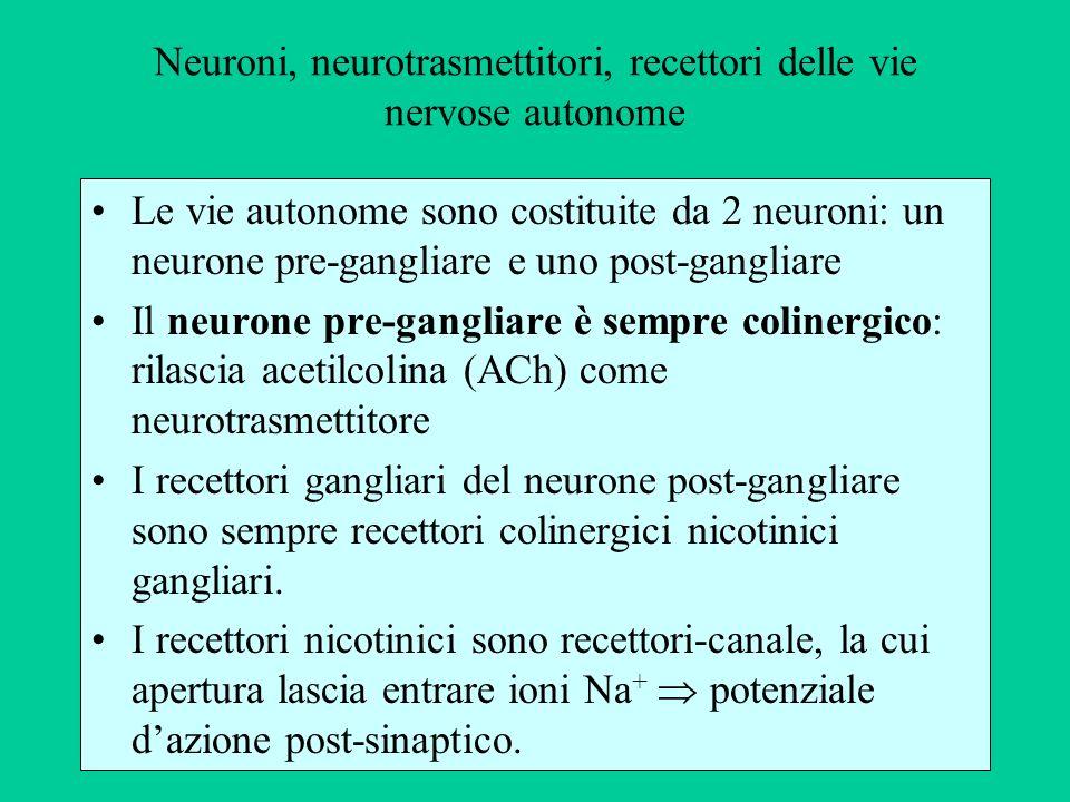 Neuroni, neurotrasmettitori, recettori delle vie nervose autonome Le vie autonome sono costituite da 2 neuroni: un neurone pre-gangliare e uno post-ga