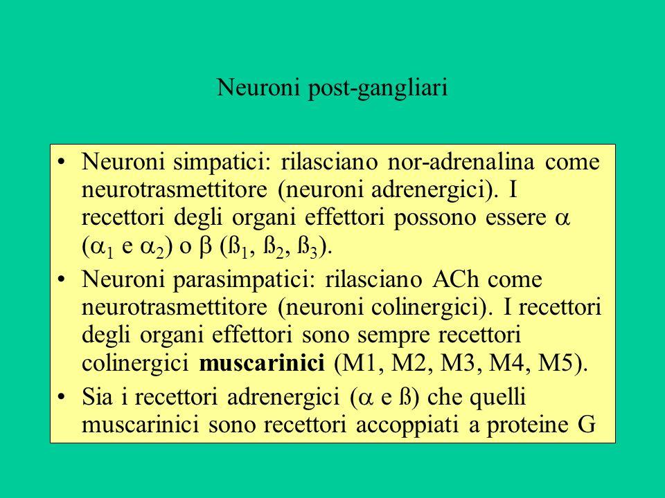 Neuroni post-gangliari Neuroni simpatici: rilasciano nor-adrenalina come neurotrasmettitore (neuroni adrenergici). I recettori degli organi effettori