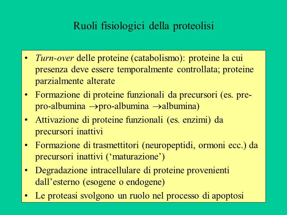 Ruoli fisiologici della proteolisi Turn-over delle proteine (catabolismo): proteine la cui presenza deve essere temporalmente controllata; proteine pa