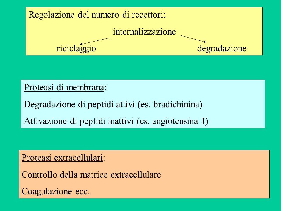 Regolazione del numero di recettori: internalizzazione riciclaggiodegradazione Proteasi di membrana: Degradazione di peptidi attivi (es. bradichinina)
