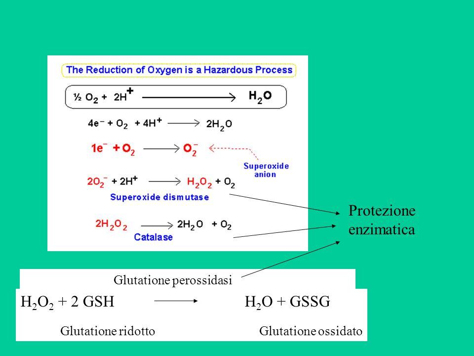 Protezione enzimatica H 2 O 2 + 2 GSH H 2 O + GSSG Glutatione ridotto Glutatione ossidato Glutatione perossidasi