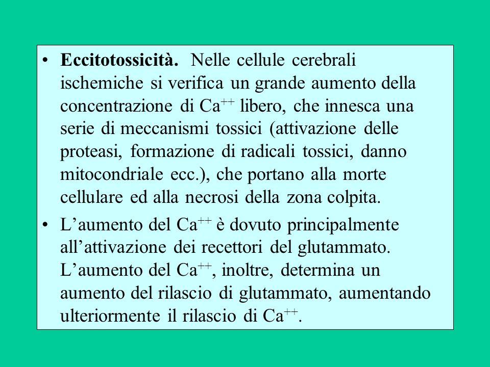Eccitotossicità. Nelle cellule cerebrali ischemiche si verifica un grande aumento della concentrazione di Ca ++ libero, che innesca una serie di mecca
