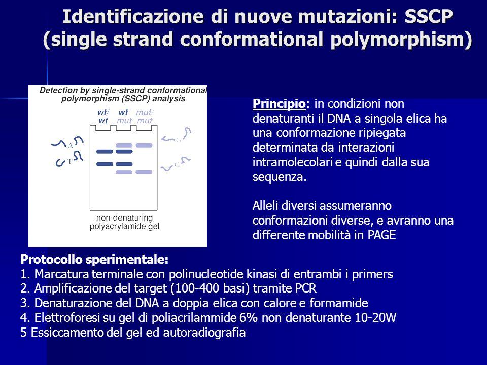 Identificazione di nuove mutazioni: SSCP (single strand conformational polymorphism) Principio: in condizioni non denaturanti il DNA a singola elica ha una conformazione ripiegata determinata da interazioni intramolecolari e quindi dalla sua sequenza.