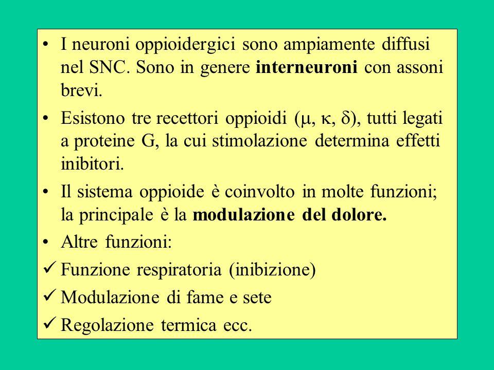 I neuroni oppioidergici sono ampiamente diffusi nel SNC.
