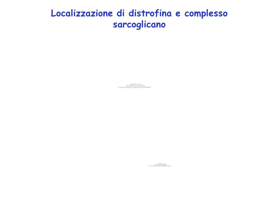 Localizzazione di distrofina e complesso sarcoglicano