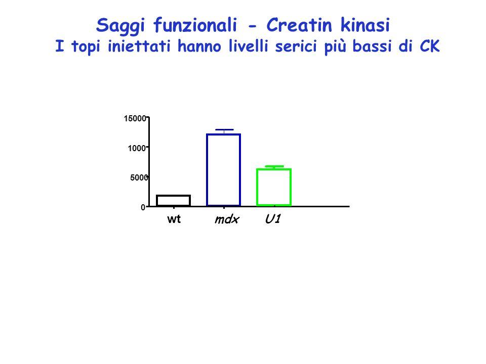Saggi funzionali - Creatin kinasi I topi iniettati hanno livelli serici più bassi di CK /bl6mdxU7 0 5000 1000 15000 wt mdx U1