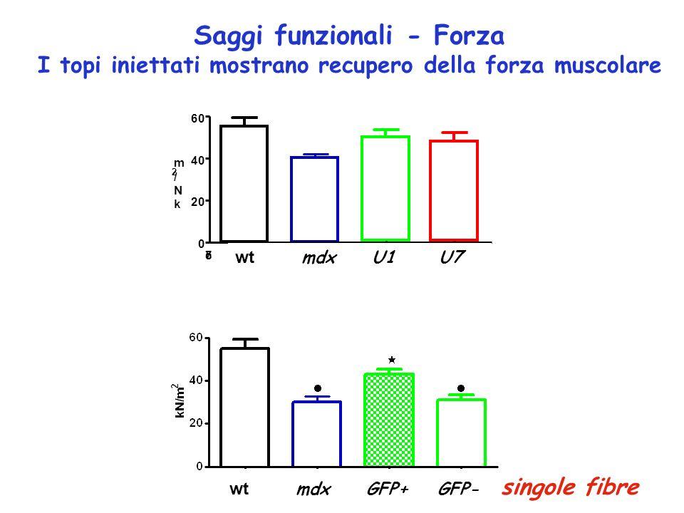 Saggi funzionali - Forza I topi iniettati mostrano recupero della forza muscolare wt mdx GFP+ GFP- singole fibre c57/bl6mdxU7U1 0 20 40 60 k N / m 2 w