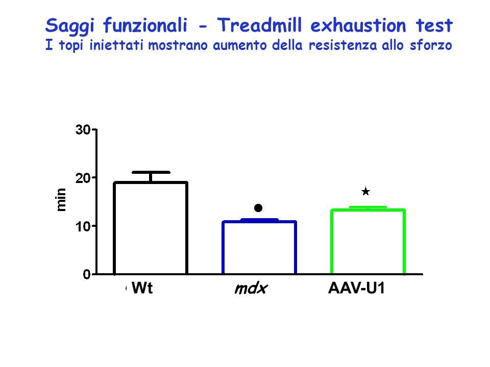 Settembre 2006 - Stato dell arte per una sperimentazione di terapia genica della DMD basata sull approccio dell exon skipping mediato da AAV-U1 Vettore AAV9 in sostituzione di AAV1 (tale vettore risulta avere un tropismo per il muscolo molto maggiore di AAV1 e in particolare per il muscolo cardiaco) Collaborazione con il gruppo del Prof.