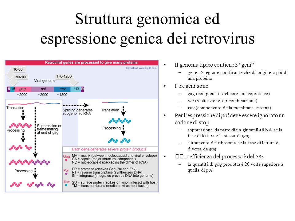 Struttura genomica ed espressione genica dei retrovirus Il genoma tipico contiene 3 geni –gene regione codificante che dà origine a più di una protein