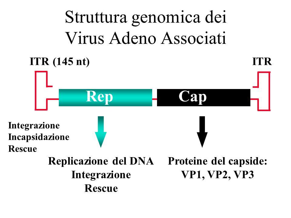 Struttura genomica dei Virus Adeno Associati Cap ITRITR (145 nt) Rep Replicazione del DNA Integrazione Rescue Proteine del capside: VP1, VP2, VP3 Inte