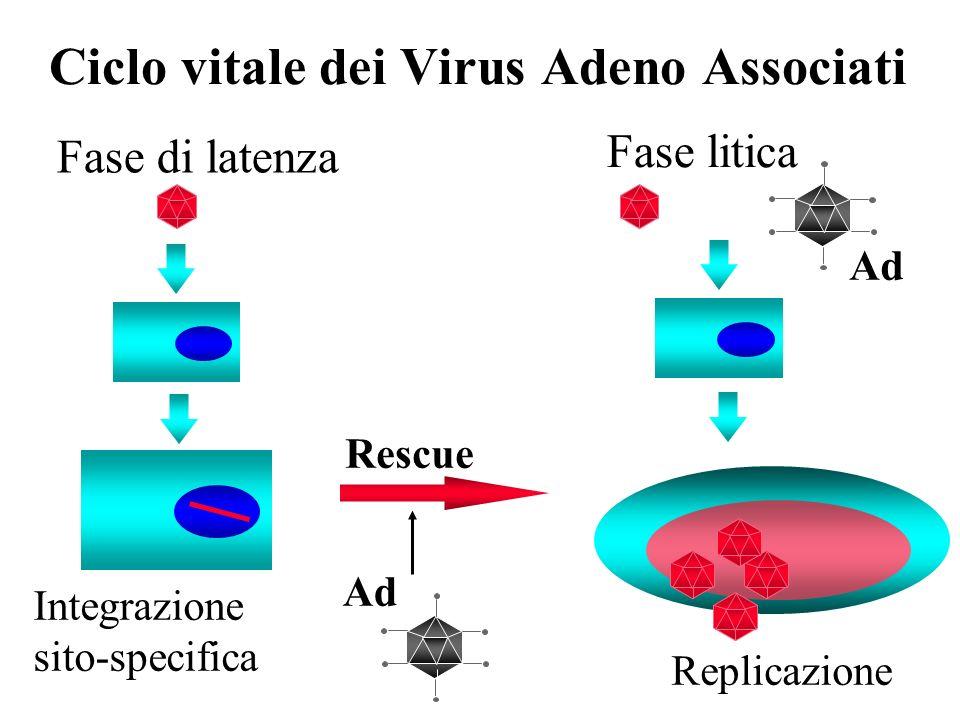Vettori AAV: struttura e produzione 1) Plasmide esprimente i geni rep e cap 2) Adenovirus helper oppure 2bis) Plasmide esprimente i geni di Adenovirus con funzione helper ITRITR (145 nt) Promotore-Transgene (max 4.5 kb)