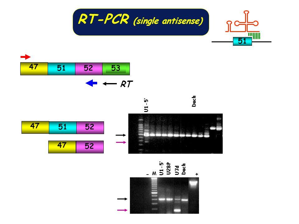 RT-PCR (single antisense) 47 515253 RT 47 52 47 5152 U1-5 Duch +- U2BP Duch U7d U1-5 M 51