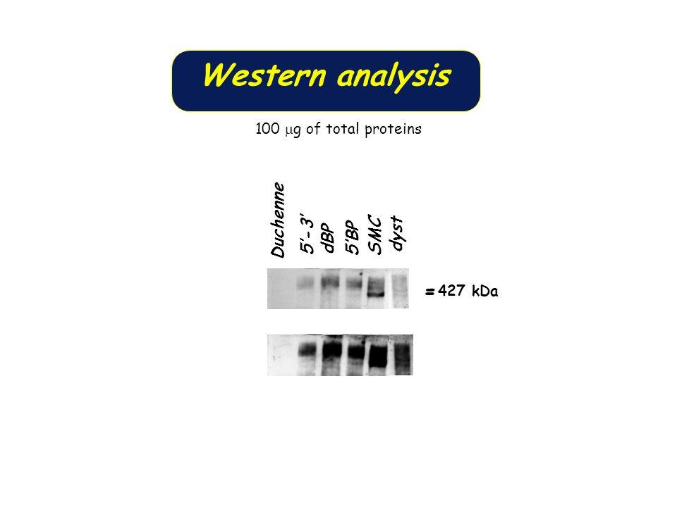 5-3 dBP 5BP SMC dyst Duchenne - 427 kDa - Western analysis 100 g of total proteins