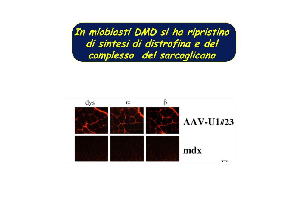In mioblasti DMD si ha ripristino di sintesi di distrofina e del complesso del sarcoglicano