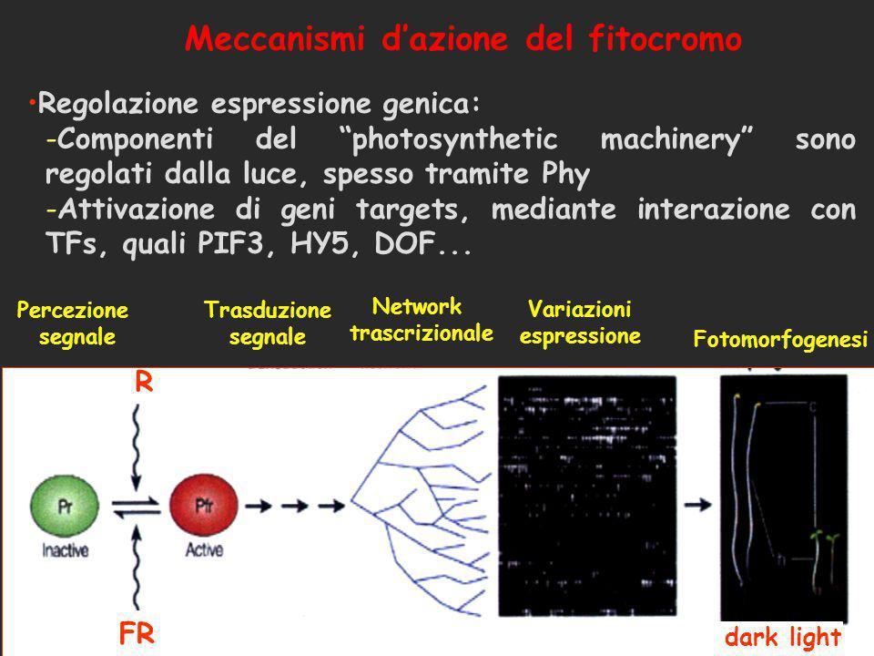 Meccanismi dazione del fitocromo Regolazione espressione genica: -Componenti del photosynthetic machinery sono regolati dalla luce, spesso tramite Phy