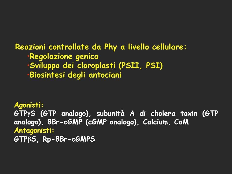 Reazioni controllate da Phy a livello cellulare: Regolazione genica Sviluppo dei cloroplasti (PSII, PSI) Biosintesi degli antociani Agonisti: GTP S (G