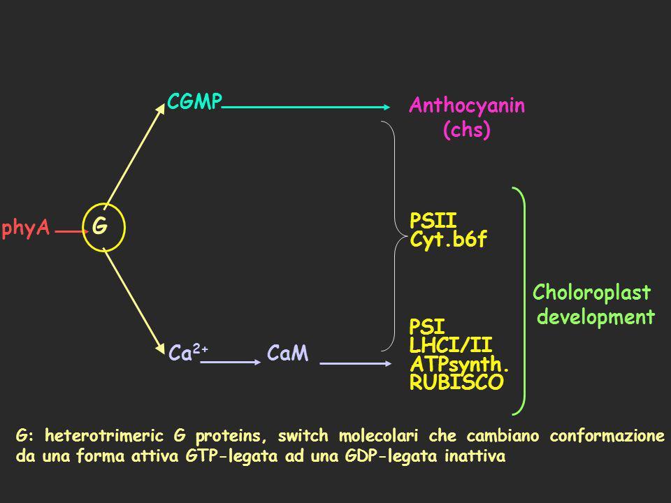 phyA PSII Cyt.b6f Ca 2+ CGMP G CaM Anthocyanin (chs) PSI LHCI/II ATPsynth. RUBISCO Choloroplast development G: heterotrimeric G proteins, switch molec