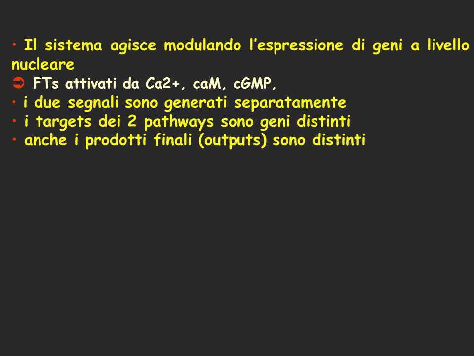 Il sistema agisce modulando lespressione di geni a livello nucleare Ü FTs attivati da Ca2+, caM, cGMP, i due segnali sono generati separatamente i tar