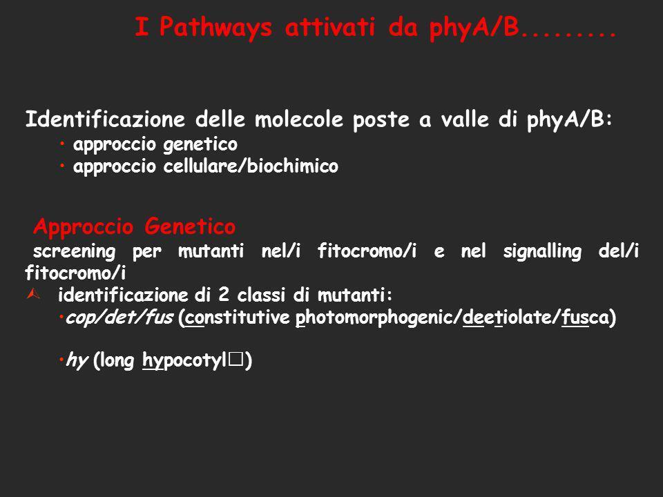 I Pathways attivati da phyA/B......... Identificazione delle molecole poste a valle di phyA/B: approccio genetico approccio cellulare/biochimico Appro
