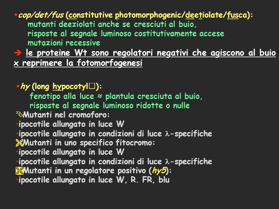 cop/det/fus (constitutive photomorphogenic/deetiolate/fusca): mutanti deeziolati anche se cresciuti al buio, risposte al segnale luminoso costitutivam