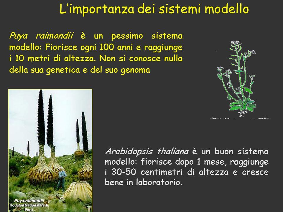 Puya raimondii è un pessimo sistema modello: Fiorisce ogni 100 anni e raggiunge i 10 metri di altezza. Non si conosce nulla della sua genetica e del s