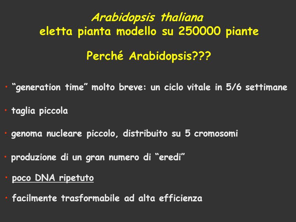 Perché Arabidopsis??? Arabidopsis thaliana eletta pianta modello su 250000 piante generation time molto breve: un ciclo vitale in 5/6 settimane taglia