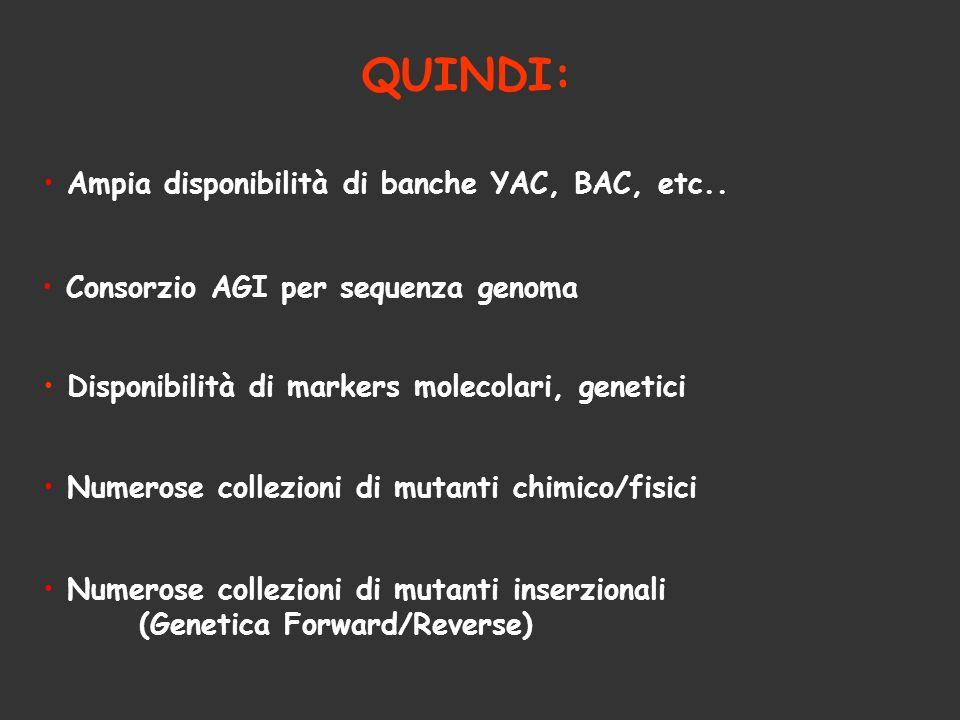 QUINDI: Ampia disponibilità di banche YAC, BAC, etc.. Consorzio AGI per sequenza genoma Numerose collezioni di mutanti chimico/fisici Numerose collezi