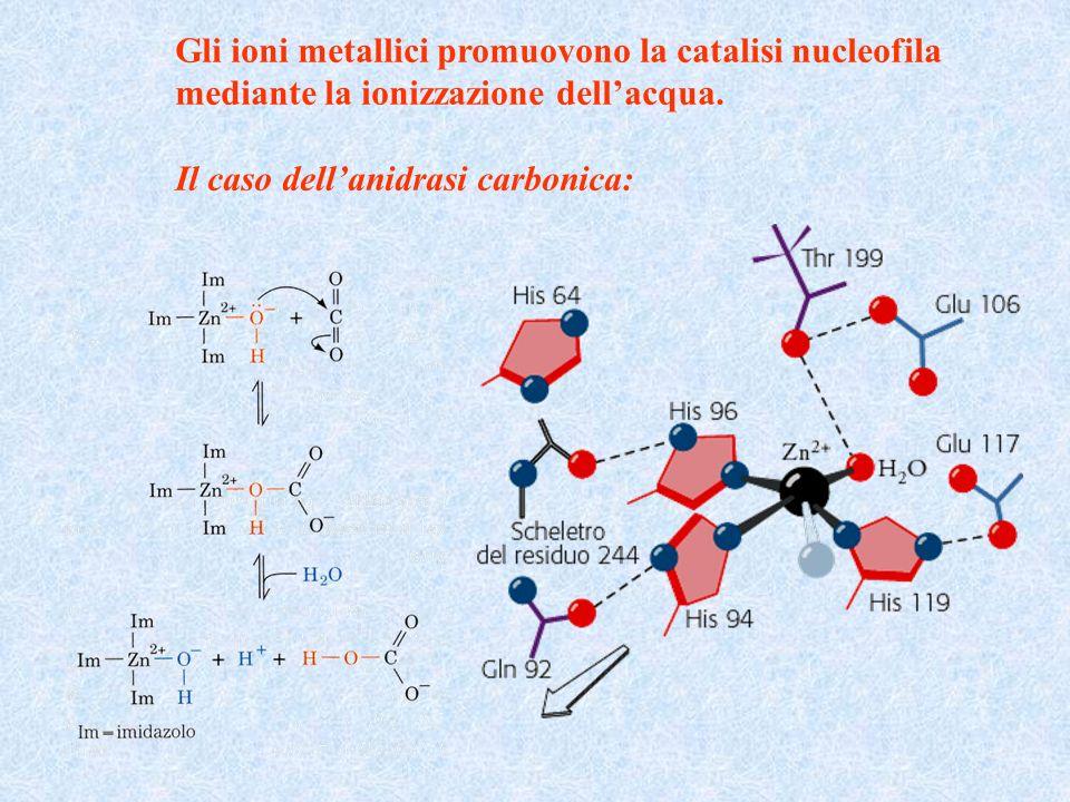Gli ioni metallici promuovono la catalisi nucleofila mediante la ionizzazione dellacqua. Il caso dellanidrasi carbonica: