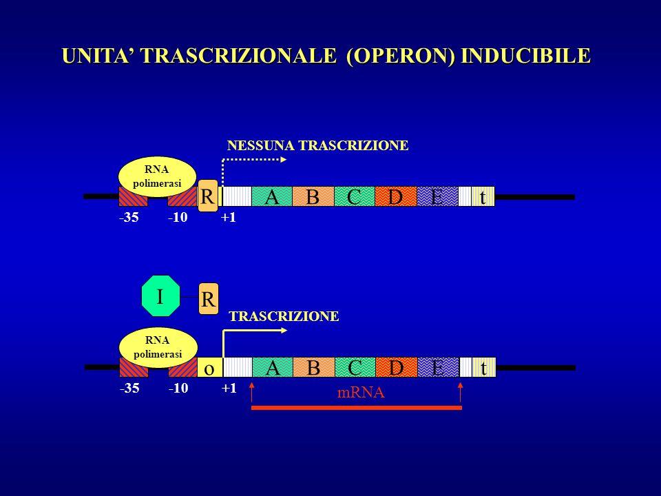 UNITA TRASCRIZIONALE (OPERON) INDUCIBILE oAECDBt -35 -10 +1 NESSUNA TRASCRIZIONE RNA polimerasi R oAECDBt mRNA -35 -10 +1 TRASCRIZIONE RNA polimerasi
