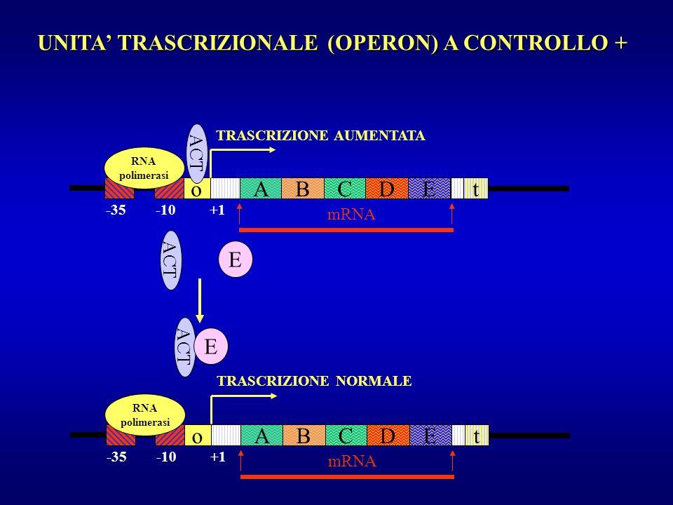 UNITA TRASCRIZIONALE (OPERON) A CONTROLLO + oAECDBt mRNA -35 -10 +1 oAECDBt RNA polimerasi TRASCRIZIONE AUMENTATA ACT mRNA RNA polimerasi TRASCRIZIONE