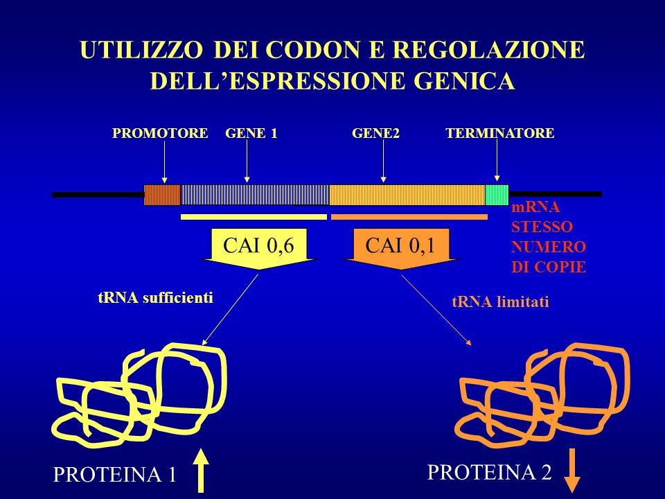 UTILIZZO DEI CODON E REGOLAZIONE DELLESPRESSIONE GENICA PROMOTORE GENE 1 GENE2 TERMINATORE mRNA STESSO NUMERO DI COPIE PROTEINA 1 CAI 0,6 tRNA suffici