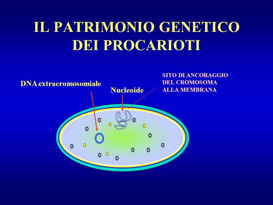 IL PATRIMONIO GENETICO DEI PROCARIOTI Nucleoide DNA extracromosomiale SITO DI ANCORAGGIO DEL CROMOSOMA ALLA MEMBRANA