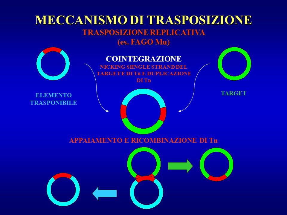 MECCANISMO DI TRASPOSIZIONE TRASPOSIZIONE REPLICATIVA (es. FAGO Mu) ELEMENTO TRASPONIBILE TARGET COINTEGRAZIONE NICKING SIINGLE STRAND DEL TARGET E DI