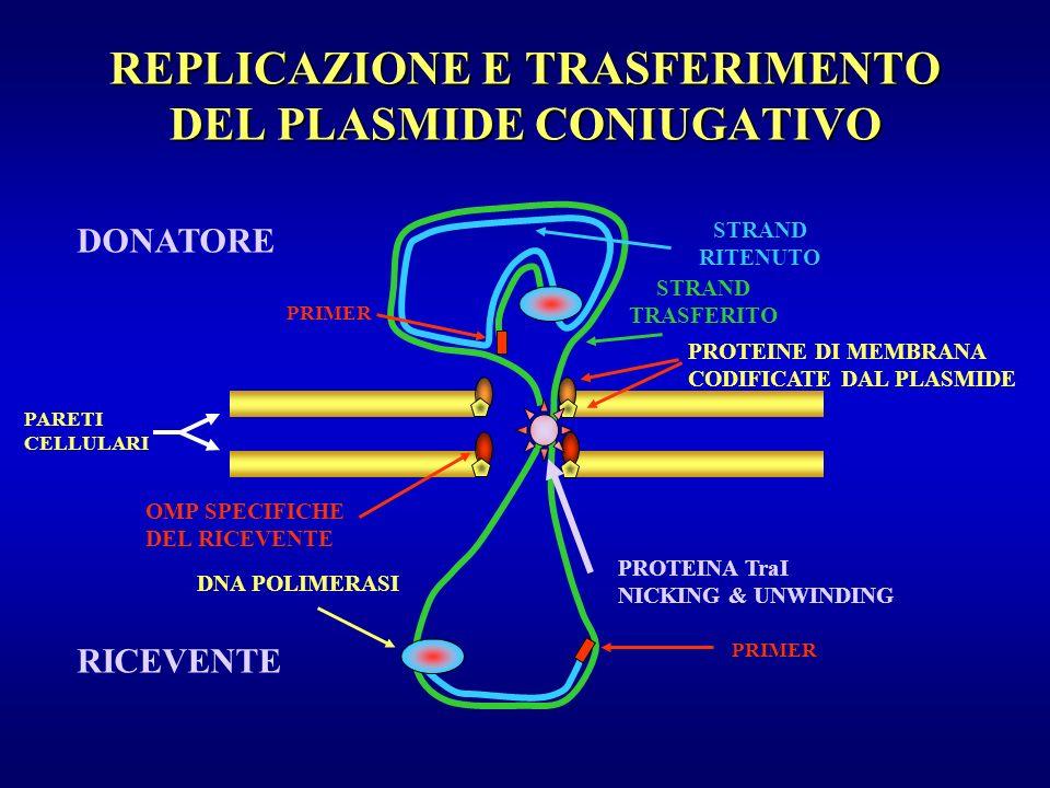 REPLICAZIONE E TRASFERIMENTO DEL PLASMIDE CONIUGATIVO DONATORE RICEVENTE PARETI CELLULARI STRAND RITENUTO STRAND TRASFERITO PRIMER DNA POLIMERASI PROT