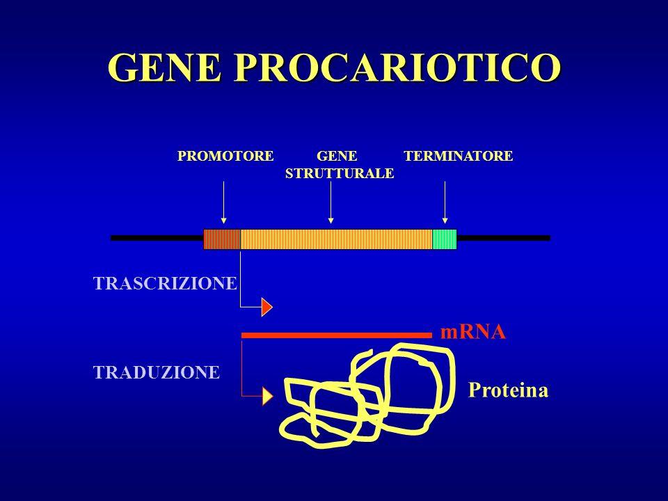 PROMOTORE ESONI INTRONI TERMINATORE Proteina TRASCRIZIONE RIELABORAZIONE TRADUZIONE 1243 Trascritto primario AAAAAG G Trascritto funzionale GENE EUCARIOTICO