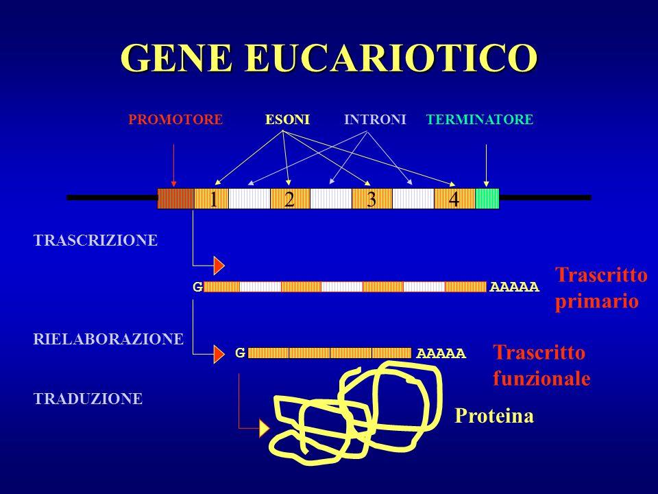 PROMOTORE ESONI INTRONI TERMINATORE Proteina TRASCRIZIONE RIELABORAZIONE TRADUZIONE 1243 Trascritto primario AAAAAG G Trascritto funzionale GENE EUCAR