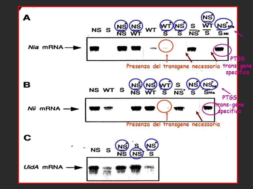 PTGS trans-gene specifico PTGS trans-gene specifico Presenza del transgene necessaria