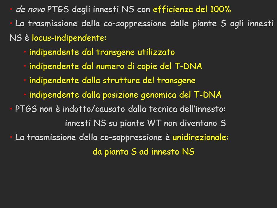 de novo PTGS degli innesti NS con efficienza del 100% La trasmissione della co-soppressione dalle piante S agli innesti NS è locus-indipendente: indip