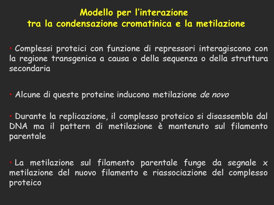 Modello per linterazione tra la condensazione cromatinica e la metilazione Complessi proteici con funzione di repressori interagiscono con la regione