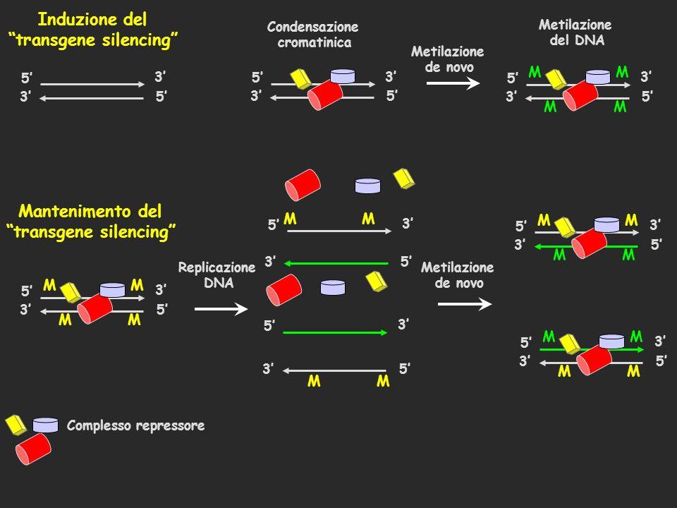 Induzione del transgene silencing 5 35 3 Complesso repressore Condensazione cromatinica 5 35 3 Mantenimento del transgene silencing 5 35 3 MM M M Meti