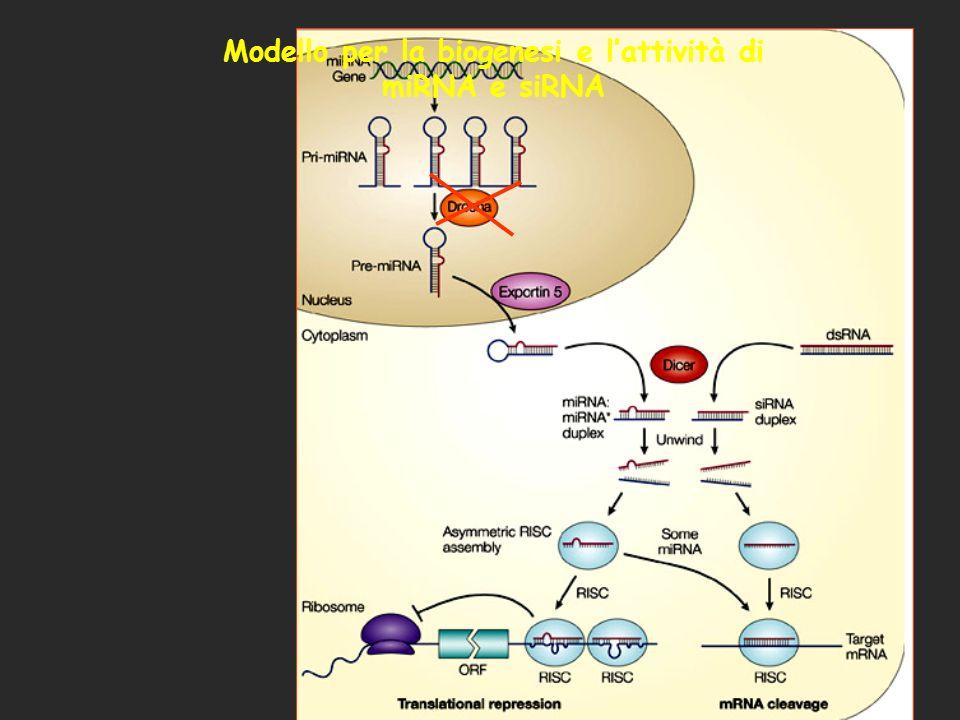 Modello per la biogenesi e lattività di miRNA e siRNA