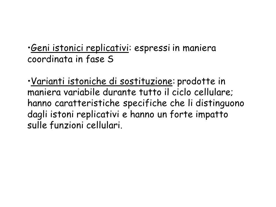 Geni istonici replicativi: espressi in maniera coordinata in fase S Varianti istoniche di sostituzione: prodotte in maniera variabile durante tutto il
