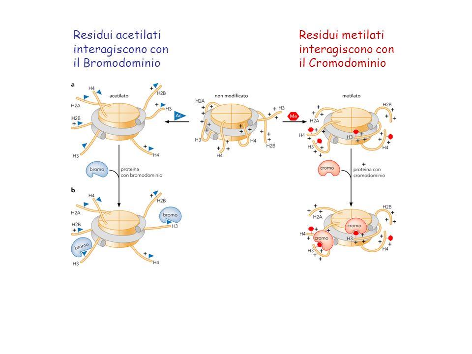 Residui acetilati interagiscono con il Bromodominio Residui metilati interagiscono con il Cromodominio