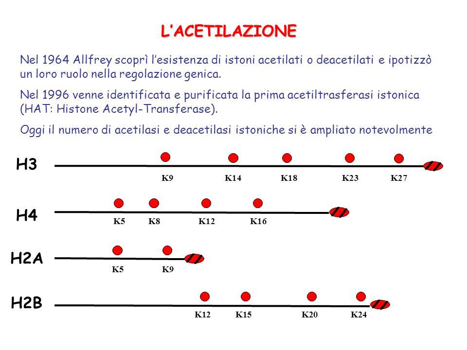 LACETILAZIONE Nel 1964 Allfrey scoprì lesistenza di istoni acetilati o deacetilati e ipotizzò un loro ruolo nella regolazione genica. Nel 1996 venne i