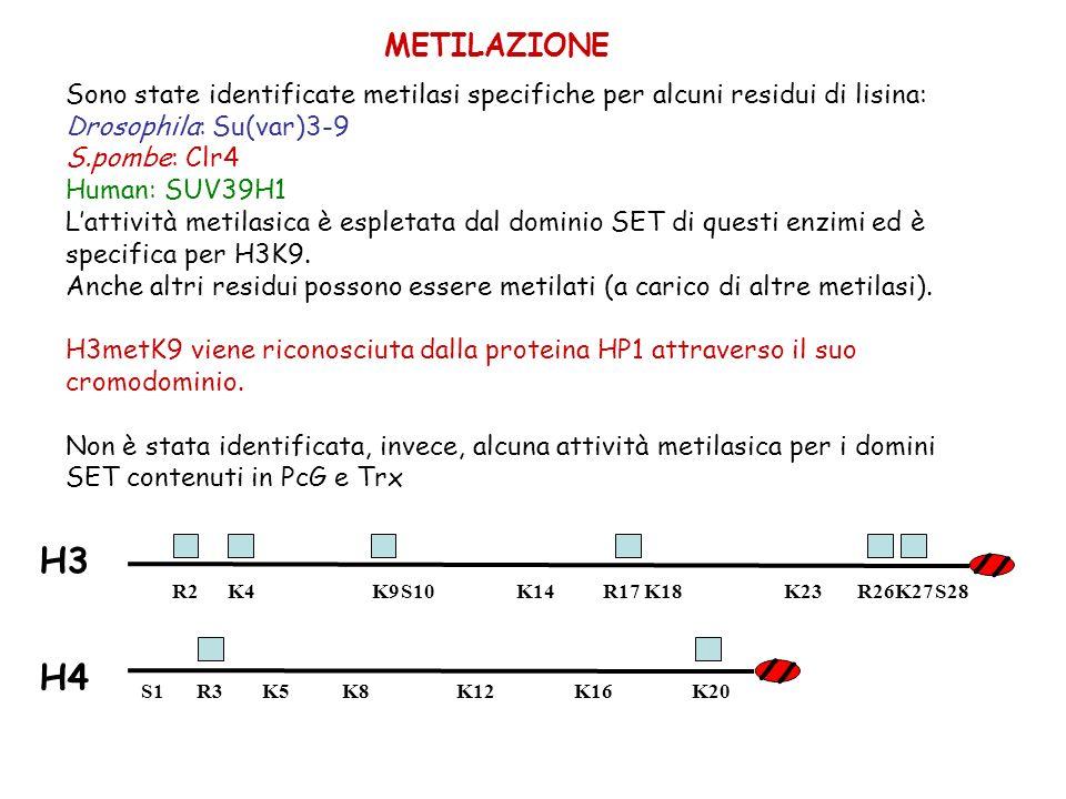 METILAZIONE Sono state identificate metilasi specifiche per alcuni residui di lisina: Drosophila: Su(var)3-9 S.pombe: Clr4 Human: SUV39H1 Lattività me