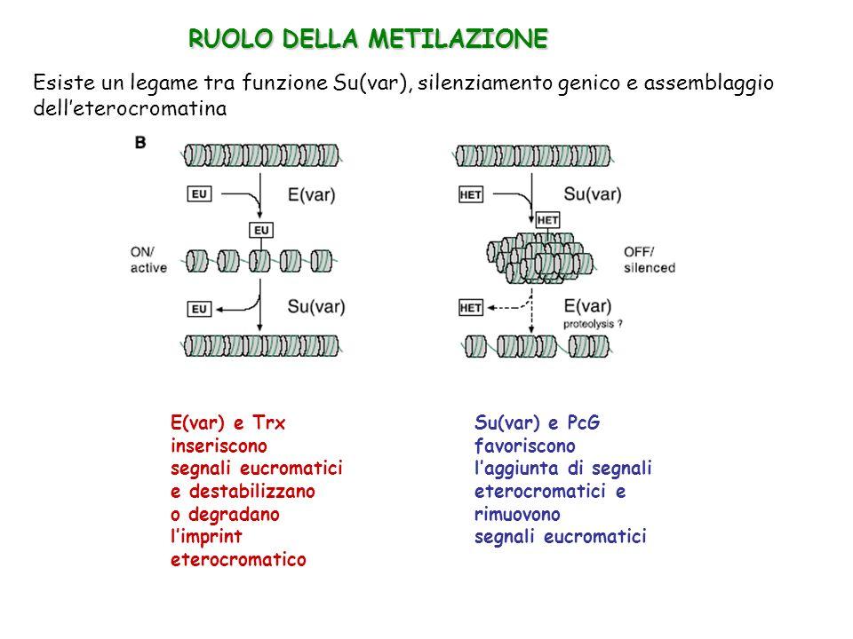 Esiste un legame tra funzione Su(var), silenziamento genico e assemblaggio delleterocromatina E(var) e Trx inseriscono segnali eucromatici e destabili